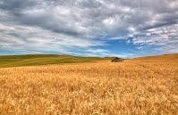 https://sites.google.com/a/dcvnps.org/vnps-dev/gallery/member-s-gallery/mtan-Golden-Wheat-Field.jpg